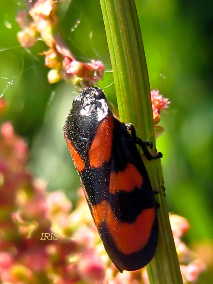 FROGHOPPER by iriscup on DeviantArt