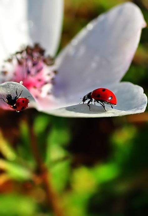 ladybug on white flower  lady bug schöne tierbilder