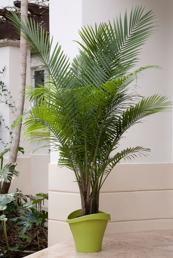 Majestic Majesty Palm A native of Madagascar, Majesty palms are easy-care indoor palms that can grow 10 to 12 feet tall. They make a BIG impression in a room. Majesty palms like bright, indirect light. Use these inexpensive palms everywhere -- indoors and out. Their fantastic fronds of foliage add life to living rooms, bedrooms, and patios (in warm weather).  Botanic name:  Ravenea rivularis  Care tip: They love a humid environment, so mist them regularly to keep your plants happy and…