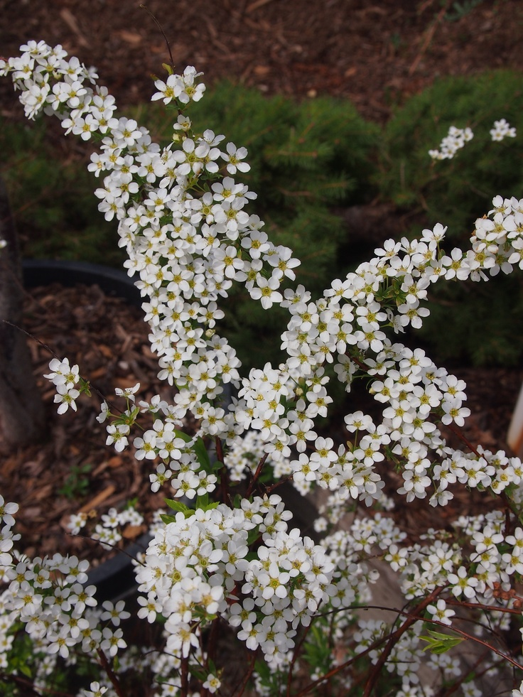 102 best images about spiraea on pinterest gardens sun for White flowering bush