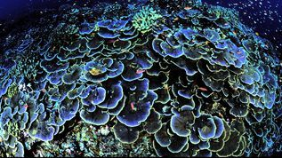 Coral off Jarvis Island, which is part of the Pacific Remote Islands Marine National Monument