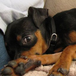 Blog post: Why Rescue a Dog: a Miniature Pinscher Story. Pictured here: Nano, a min pin-chihuahua mix.