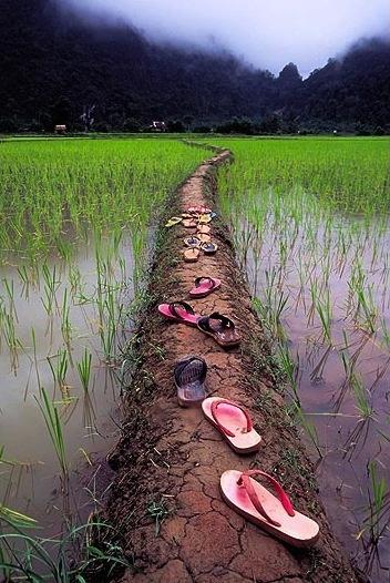 Beautiful rice paddy shot