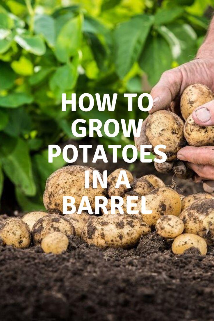 How to grow potatoes in a barrel potato barrel growing