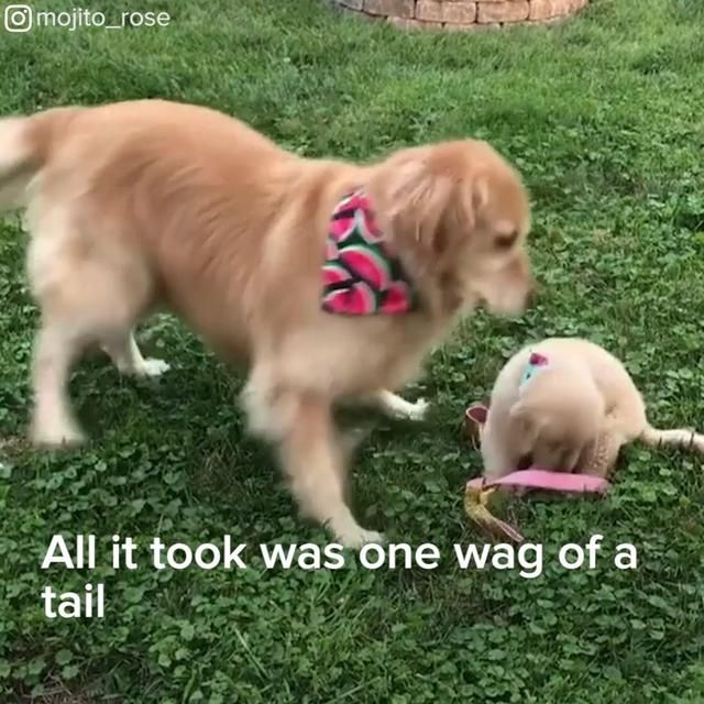 This Therapy Golden Retriever Just Got The Best Surprises