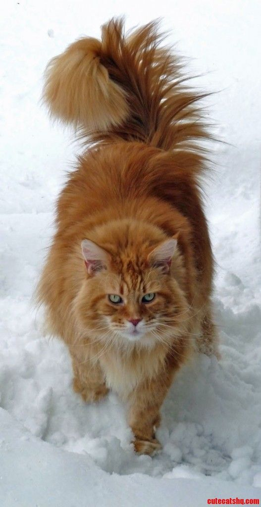 Classic Red Maine Coon cat in Snow - http://cutecatshq.com/cats/classic-red-maine-coon-cat-in-snow-2/