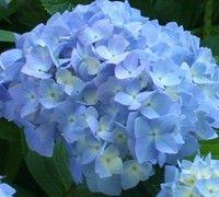 Nikko Blue Hydrangea #garden #shrubs #hydrangea #flowers
