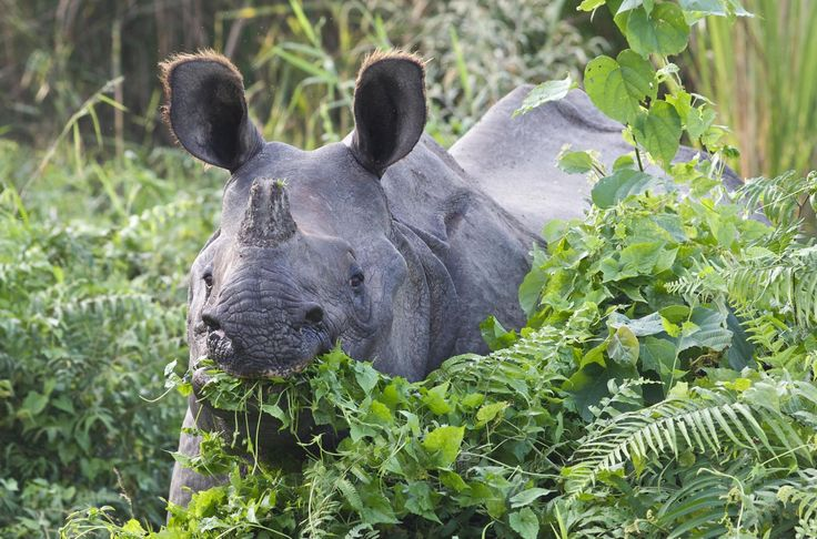 Indian one horned rhino in Kaziranga National Park