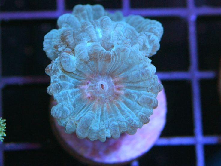Common Name:  Candy Cane Coral, Trumpet Coral Scientific Name:  Caulastrea furcata