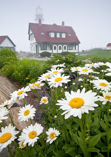 Daisies and the Portland Head lighthouse on a foggy afternoon, Ft. Williams Park, Cape Elizabeth, Maine