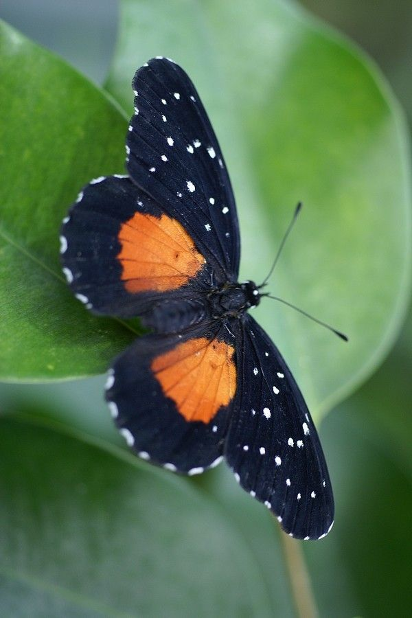 The Crimson Patch, also known as the Janais Patch, is a common New World butterfly found from Colombia north through Central America and Mexico to southern Texas, with occasional sightings in southeastern Mexico and northern Texas