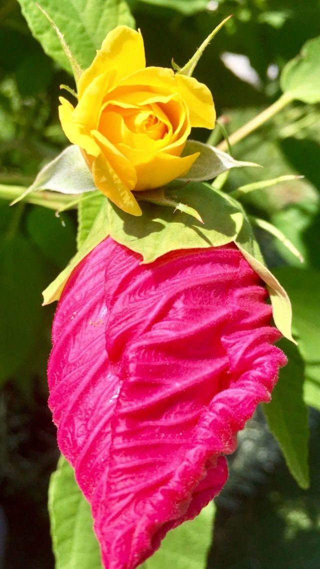 Fiori Gialli Yellow Flowers.Yellow Pink Bicolor Flowers Fiori Gialli E Rosa Boccioli