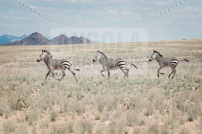 Zebras em galope no Parque Nacional do Iona no deserto do Namibe, sul de Angola. Trata-se da Zebra-das-Montanhas-de-Hartmann (Equus zebra hartmannae) que é uma sub-espécie da zebra-das-montanhas encontrada apenas no extremo sul de Angola e norte da Namibia. Vivem em pequenos grupos de 7 a 12 indivíduos, são escaladores ágeis e sobrevivem em condições áridas e terrenos rochosos com pouca ou nenhuma vegetação. A espécie e a sub-espécie estão listadas como vulnerável na Lista Vermelha da IUCN.