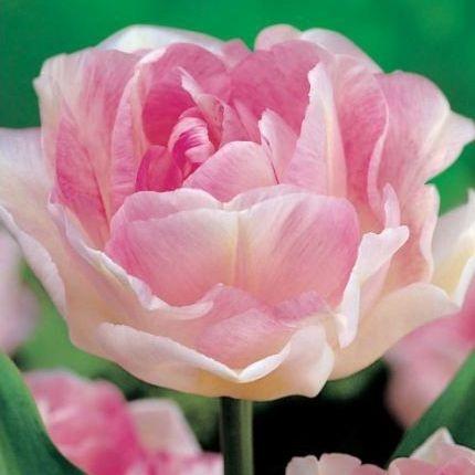 Tulipe fleur de pivoine tulips pinterest Fleurs pivoines