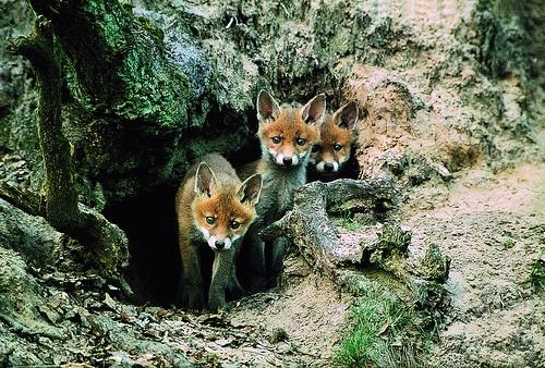 Un trio di cuccioli di volpe. #Oasi #Zegna, #Piemonte. www.oasizegna.com