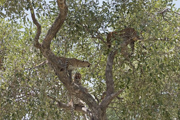 Not One But Three in a Tree – Amazing Leopard Footage at Mombo #Botswana #safari