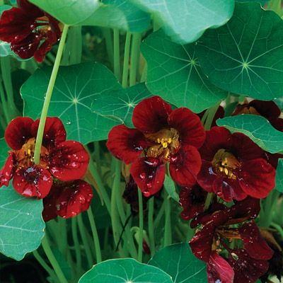 Lovely nasturtium 'black velvet' - in love with this edible flower!
