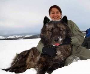 holy badass wolf!!  'Yellowstone Wolf 495M was a remarkable wolf. At the time of his capture for collaring, he was the largest wolf ever recorded in Yellowstone, weighing in at 143 lbs. The researchers joked that they had darted a bear instead of a wolf because of his immense size. As the alpha male of Mollie's Pack, 495M also displayed immense boldness. The hardy pack inhabited Pelican Valley in the park's interior and regularly hunted bison instead of elk—no easy feat even for a wolf...