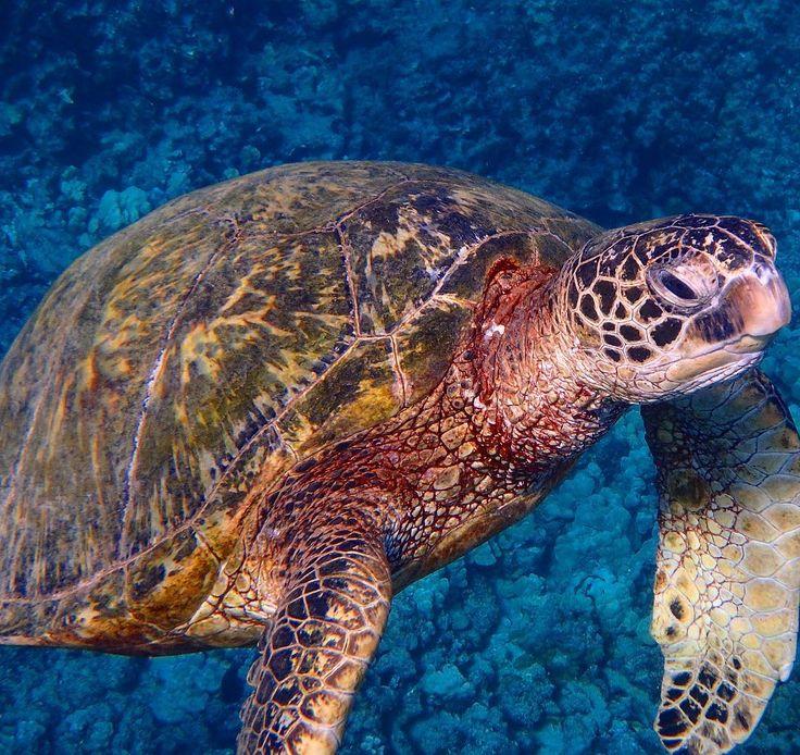 亀ちゃんのアップ亀ちゃんの体とか甲羅にはいろんな特徴があり潜る時にたまに同じ亀を見かけるよー#野生 #アオウミガメ #ウミガメ #ホヌ #幸せ #長生き #素潜り #フリーダイビング #シュノーケル #絶滅危惧 #olympus #olympustough #tg4 #オアフ #ハワイ Every turtle has its own special characteristics on its skin or shell. I would recognize some of them when I go diving. #freeandwild #hawaiian #greenseaturtle #seaturtle #honu #endangeredspecies #freedive #divelife #luckywelivehawaii #hilife #808 #chillday #ig_oahu #naturelover #oceanlover by wildape76