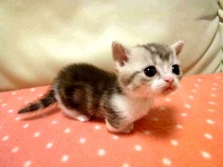 Munchkin Kittens: Breed Of Cats Most People Don't Know About… And Now We're Completely Obsessed!