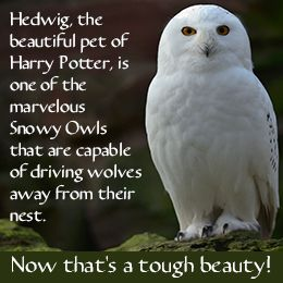 25+ best ideas about Owl facts on Pinterest | What do owls ...