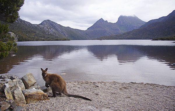 Wallaby at Cradle Mountain. #wallaby #cradlemountain #tasmania #discovertasmania Image Credit: Eunice Khong