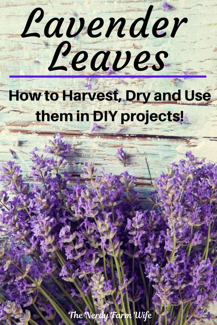 6 Uses For Lavender Leaves In 2020 Lavender Leaves Lavender Plant Uses Lavender Uses