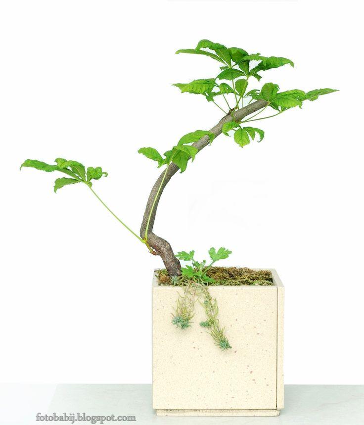 Darmowe zdjęcia, Free Photos : Kasztanowiec w donicy, bonsai, zdjęcie na tapetę  ...