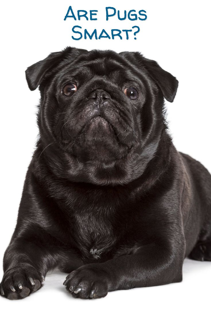 Are Pugs Smart Dogs Plus 10 Of The Most Intelligent Breeds