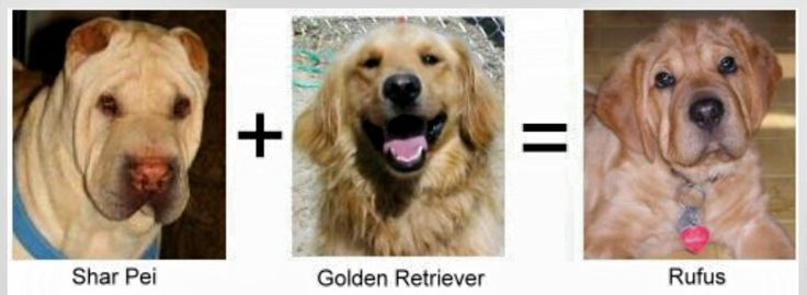 GOLDEN PEI: This dog/puppy is a mixture of Chinese Shar Pei + Golden Retriever.