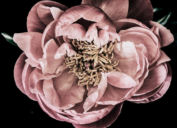 Peony from an arrangment shot on day 3. The perfect artwork to remember a beautiful bouquet. Floragraphica | Modern bouquet preservation with photography