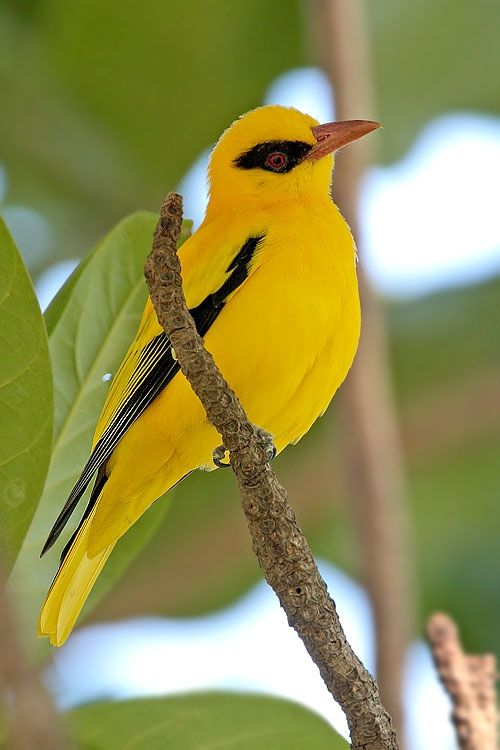 The African Golden Oriole (Oriolus auratus) ~ south of the Sahara