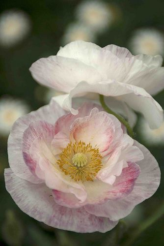 Papaver rhoeas 'Shirley Double Mix' - Poppy