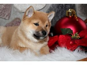 shiba inu and schipperke | Shiba-Inu Puppies For Sale: AKC CH Sired Shiba Inu Puppy's Male and ...