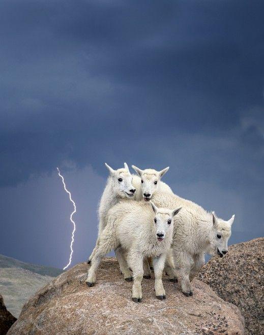 Verdon Tomajko, vincitore del premio per la sezione 'Wildlife' nella categoria amatori con la foto Mountain Goat Kids. La foto è stata scattata nella regione delle Montagne Rocciose in Colorado. (Verdon Tomajko, all rights reserved)