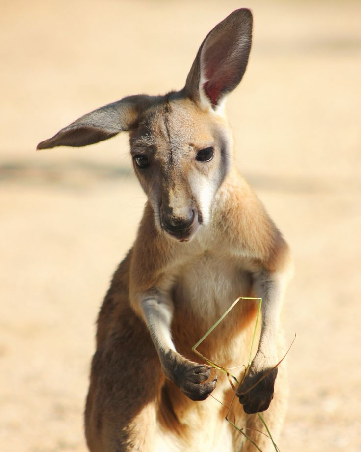 """What did you say? Don't worry I'm all ears!"" Our newest kangaroo joey has started to venture outside mum's pouch."