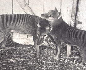The last known Tasmanian Tigers.thay are so cute
