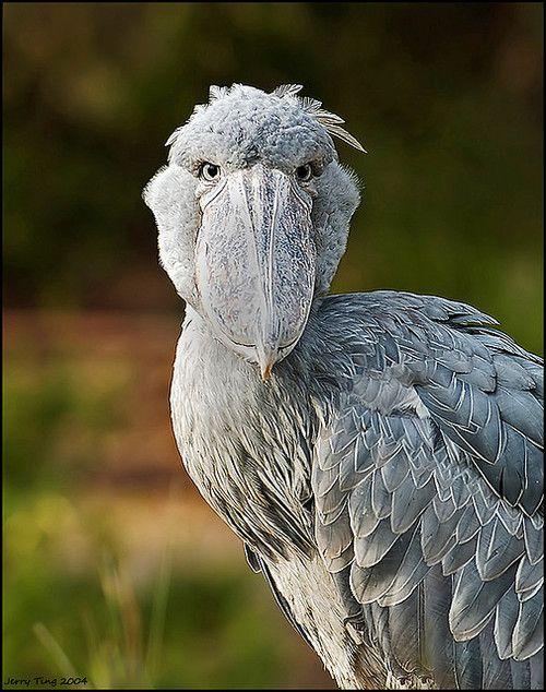 1000 images about birds shoebillspoonbill amp pelicans on