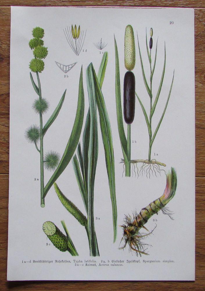 Botanischer Druck - Pflanzen Botanik Druck Atlas des Pflanzenreichs ca. 1920 20