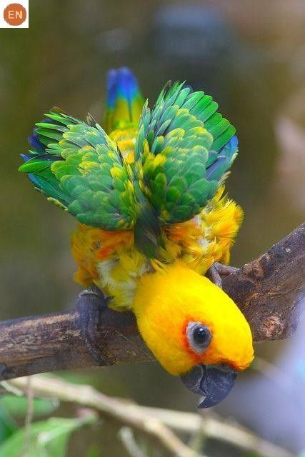 "https://www.facebook.com/WonderBirdSpecies/ Sun conure (Aratinga solstitialis); North-eastern South America; IUCN Red List of Threatened Species 3.1 : Endangered (EN)(Loài nguy cấp) <("") Vẹt Conure thái dương; Đông-bắc Nam Mỹ; HỌ VẸT-PSITTACIDAE (True parrots)."