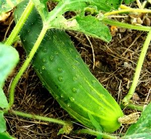 Cucumber Varieties: Best Bets and Easy-to-Grow » Harvest to Table