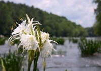 The Cahaba Lilies of the Cahaba River #alabama