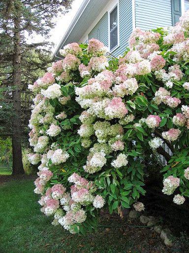 Tree hydrangea