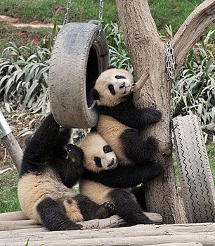 46 best images about Cubbie Cuteness on Pinterest | A tree ... Panda Cubs Playing In Snow