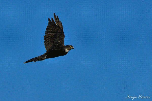 Accipiter nisus_Gavião - pequena ave de rapina habita regiões densamente florestadas