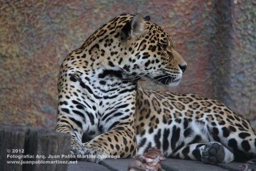 Jaguar uno de mis felinos preferidos en Colombia