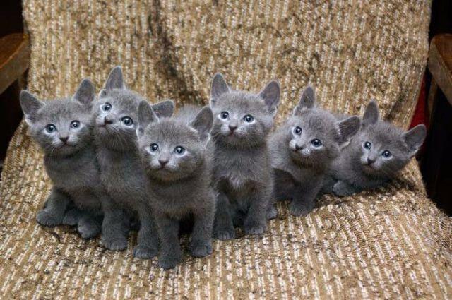 Bebés de gato azul ruso de 4 semanas