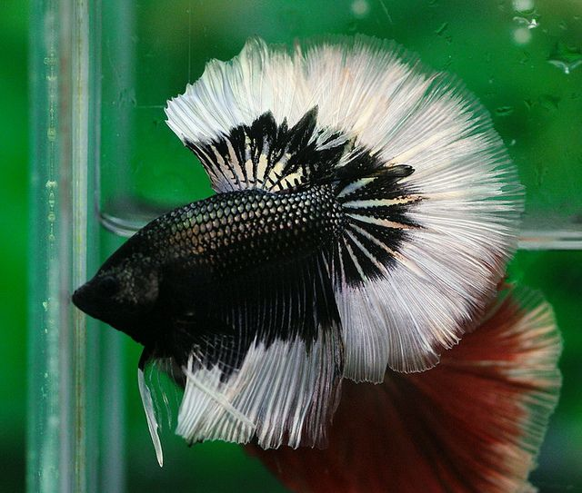 17 Best images about Betta Fish on Pinterest | Copper ...