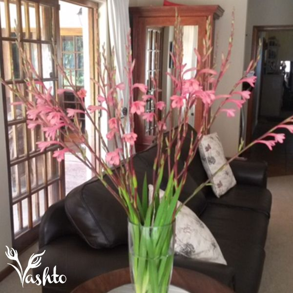 WATSONIA - Are indigenous to the Cape and flower in Spring time. Exclusive to Woolworths.