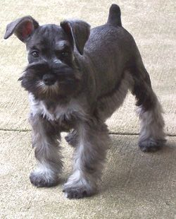 schnauzer haircut for a dog named Jock - isn't he cute he doesn't look like an old country dog like my Macee